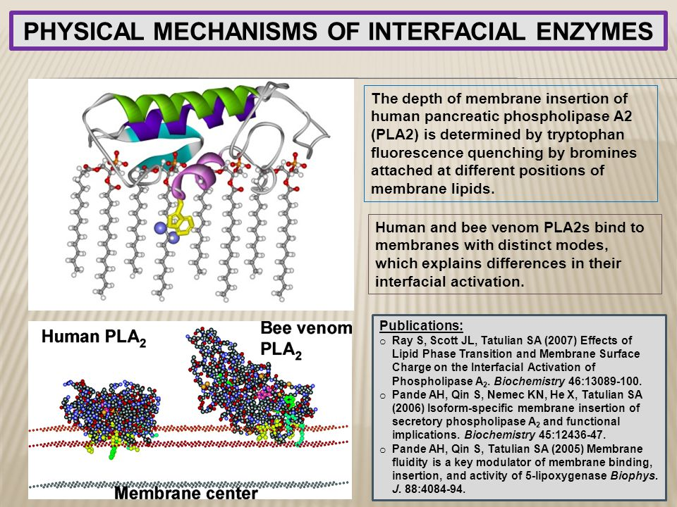 PHYSICAL MECHANISMS OF INTERFACIAL ENZYMES The depth of membrane insertion of human pancreatic phospholipase A2 (PLA2) is determined by tryptophan flu