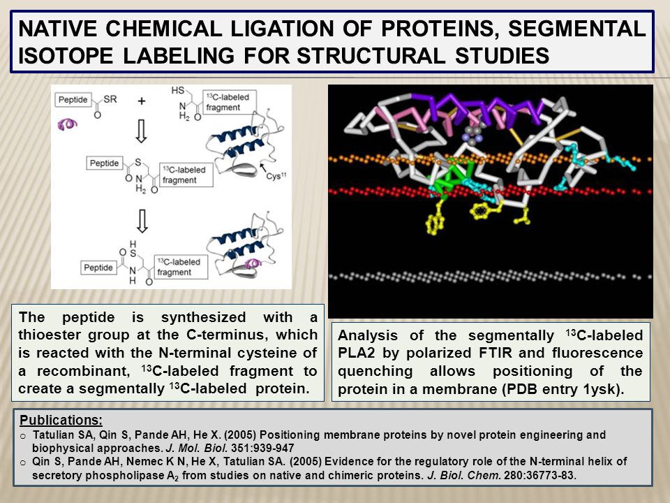 NATIVE CHEMICAL LIGATION OF PROTEINS, SEGMENTAL ISOTOPE LABELING FOR STRUCTURAL STUDIES The peptide is synthesized with a thioester group at the C-ter