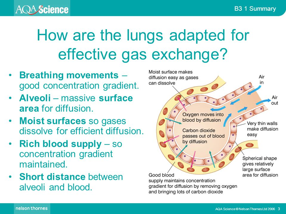 B3 1 Summary AQA Science © Nelson Thornes Ltd 2006 3 How are the lungs adapted for effective gas exchange.