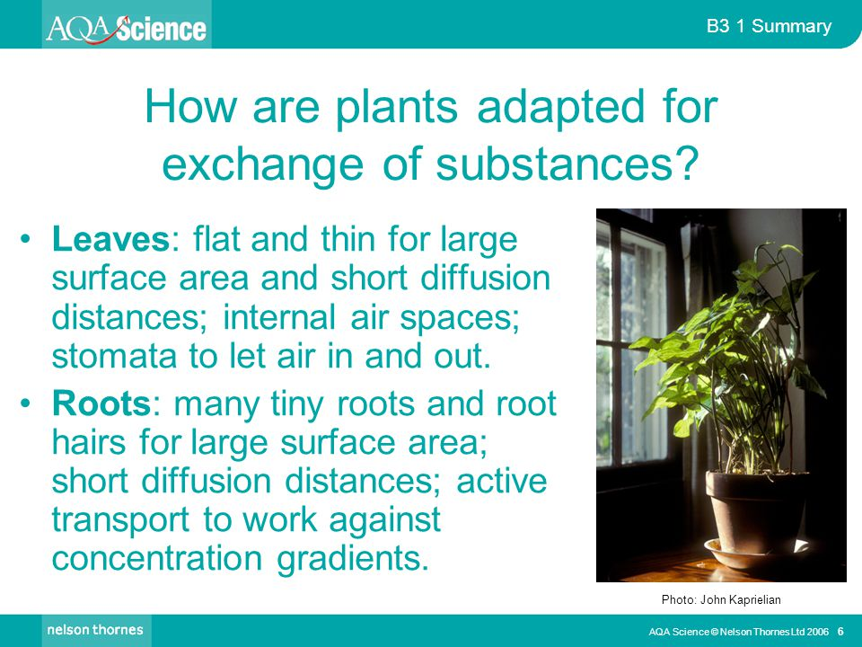 B3 1 Summary AQA Science © Nelson Thornes Ltd 2006 6 How are plants adapted for exchange of substances.