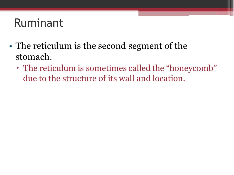 """Ruminant The reticulum is the second segment of the stomach. ▫The reticulum is sometimes called the """"honeycomb"""" due to the structure of its wall and l"""