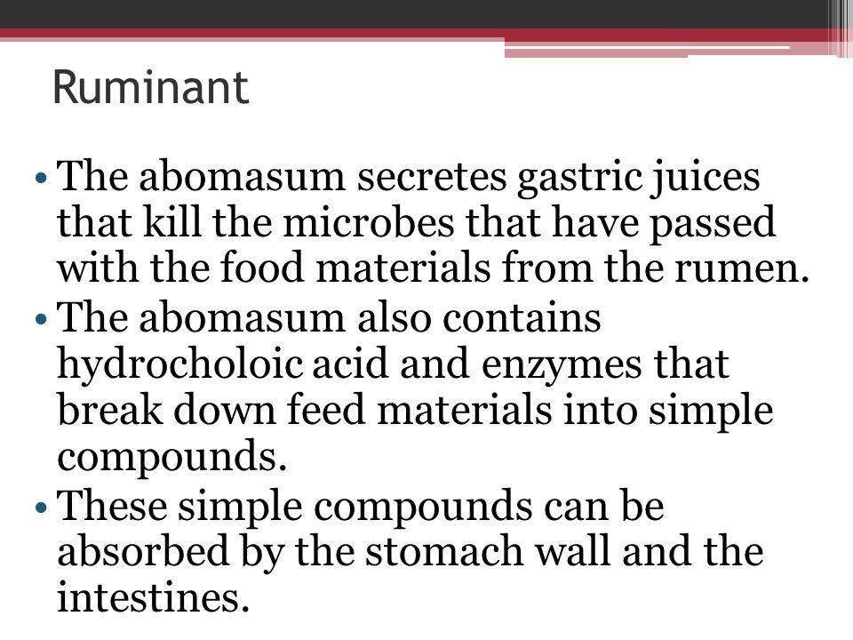 Ruminant The abomasum secretes gastric juices that kill the microbes that have passed with the food materials from the rumen. The abomasum also contai