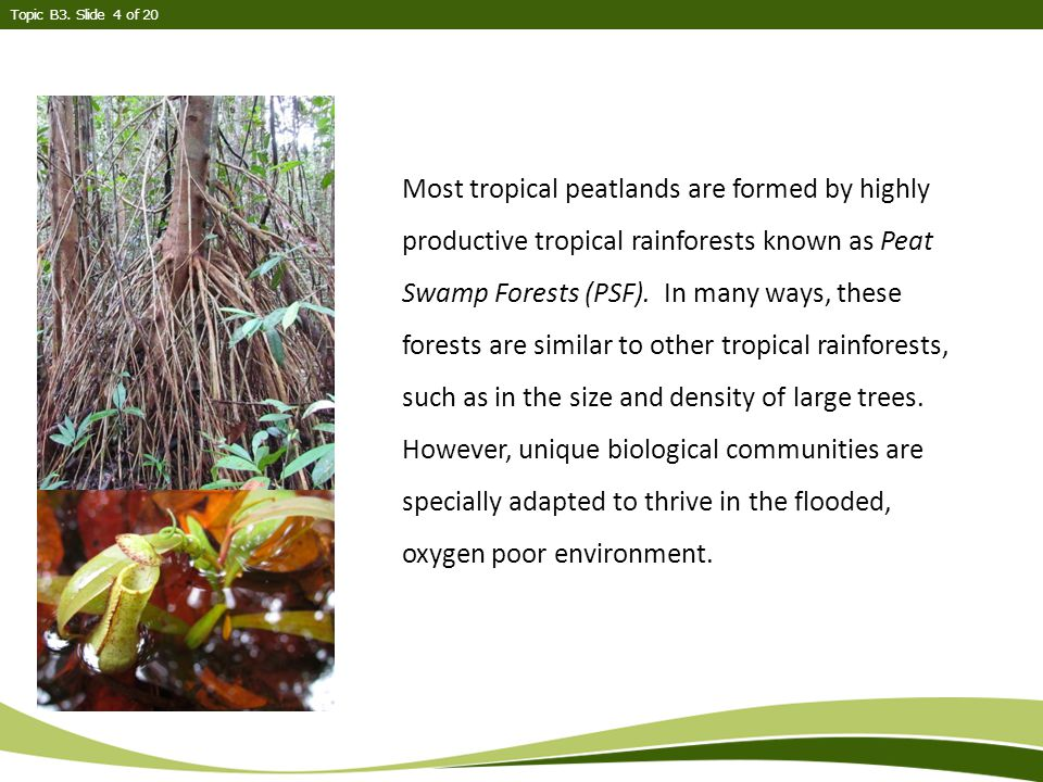 Most tropical peatlands are formed by highly productive tropical rainforests known as Peat Swamp Forests (PSF).