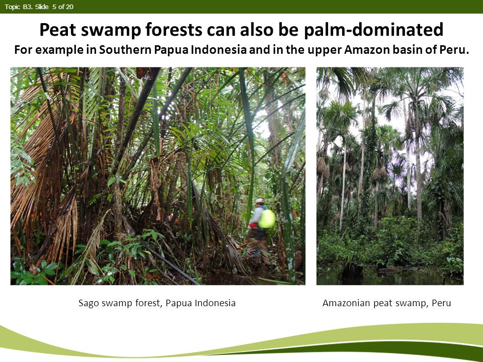 Peat swamp forests can also be palm-dominated For example in Southern Papua Indonesia and in the upper Amazon basin of Peru.