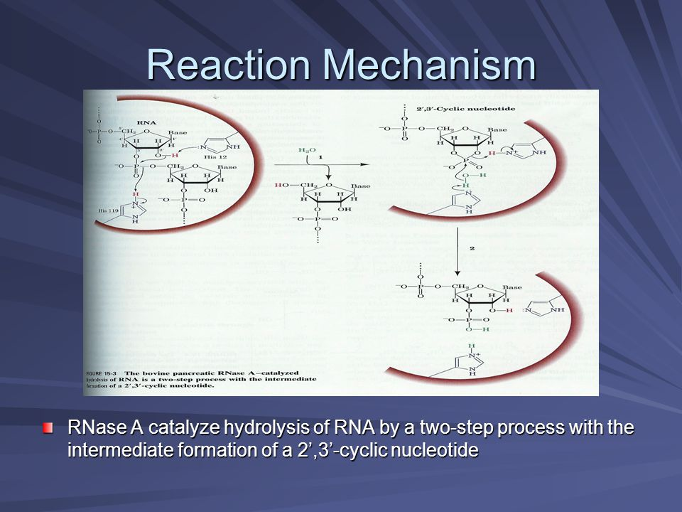 Reaction Mechanism RNase A catalyze hydrolysis of RNA by a two-step process with the intermediate formation of a 2',3'-cyclic nucleotide