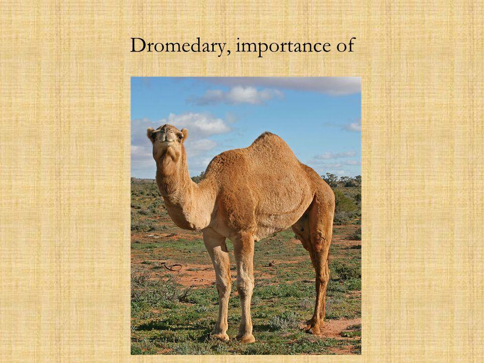 Dromedary, importance of