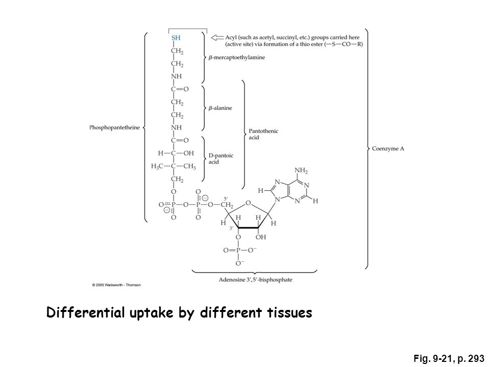 Functions: A part of coenzyme A Acetylates sugars, proteins, fatty acid metabolites Oxidative decarboxylation of pyruvate Synthesis of cholesterol, bile salts, ketones, fatty acids, steroid hormones A part of 4'-phosphopantetheine Prosthetic group for acyl carrier protein (ACP) in fatty acid synthesis Wound healing Cholesterol metabolism; pantethine Excretion – primarily urine Toxicity – rare; tingling hands and feet Nutrient and Drug Interactions: Oral contraceptives containing both estrogen and progesterone