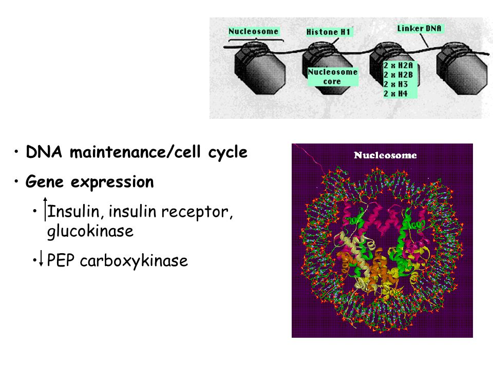 DNA maintenance/cell cycle Gene expression Insulin, insulin receptor, glucokinase PEP carboxykinase