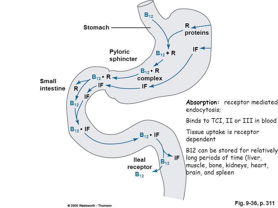 Stomach proteins R Pyloric sphincter Small intestine Ileal receptor IF complex IF R B 12 B 12 + R B 12 R B 12 B 12 IF B 12 Fig. 9-36, p. 311 B 12 IF A