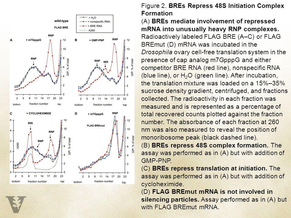 Figure 2. BREs Repress 48S Initiation Complex Formation (A) BREs mediate involvement of repressed mRNA into unusually heavy RNP complexes. Radioactive