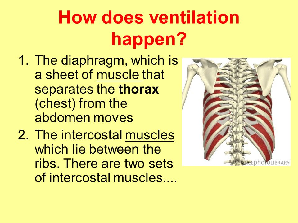 How does ventilation happen? 1.The diaphragm, which is a sheet of muscle that separates the thorax (chest) from the abdomen moves 2.The intercostal mu