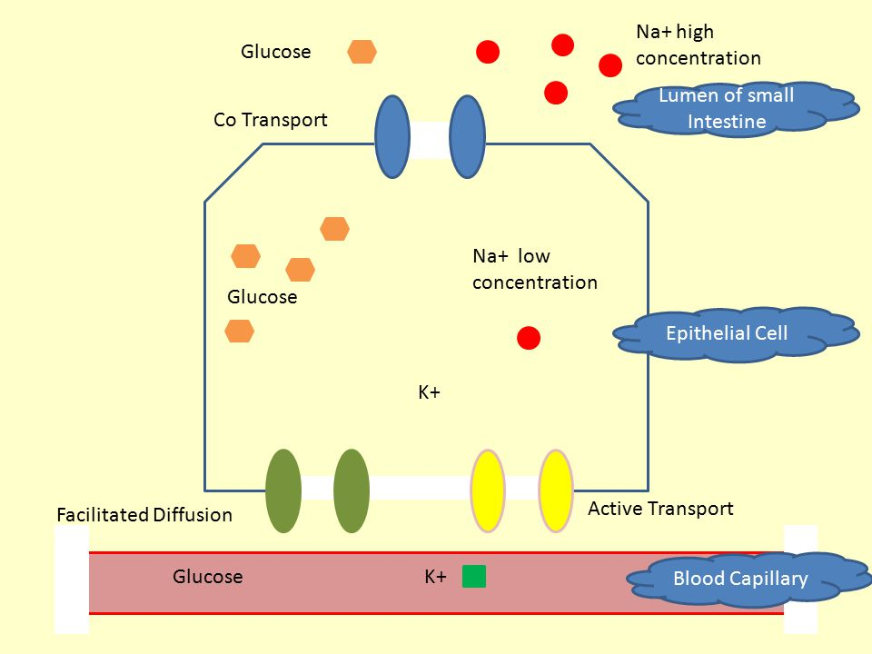 Na+ high concentration K+ Glucose Na+ low concentration Glucose Active Transport Facilitated Diffusion Co Transport Blood Capillary Epithelial Cell Lu