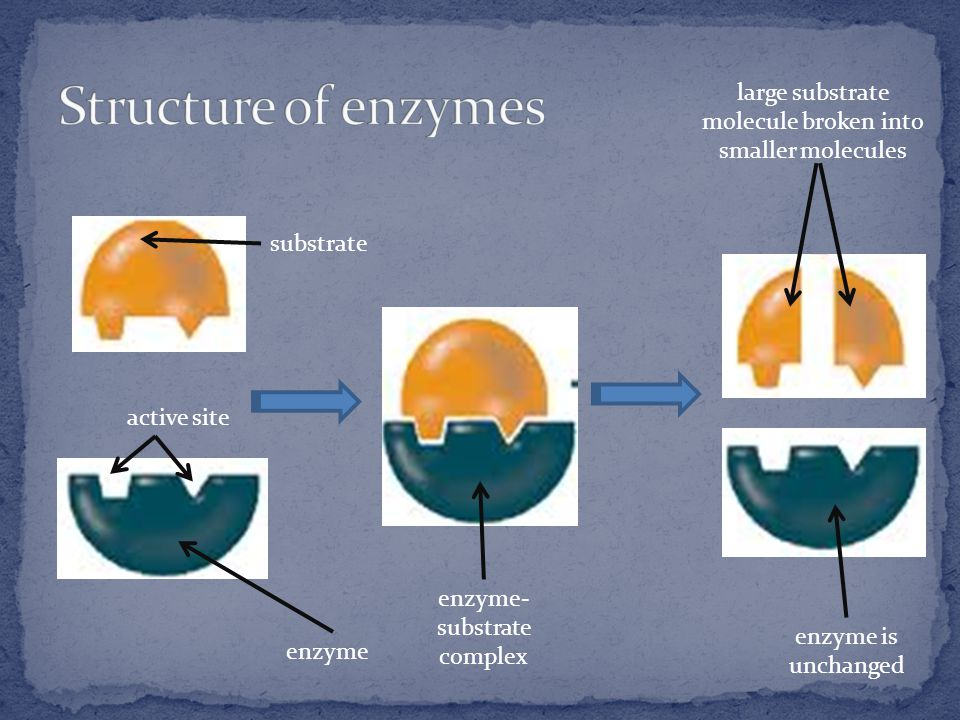 enzyme active site substrate enzyme- substrate complex large substrate molecule broken into smaller molecules enzyme is unchanged