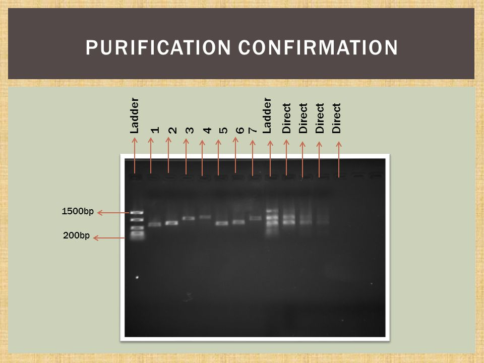 PURIFICATION CONFIRMATION 1500bp 200bp Ladder 1234567 Direct