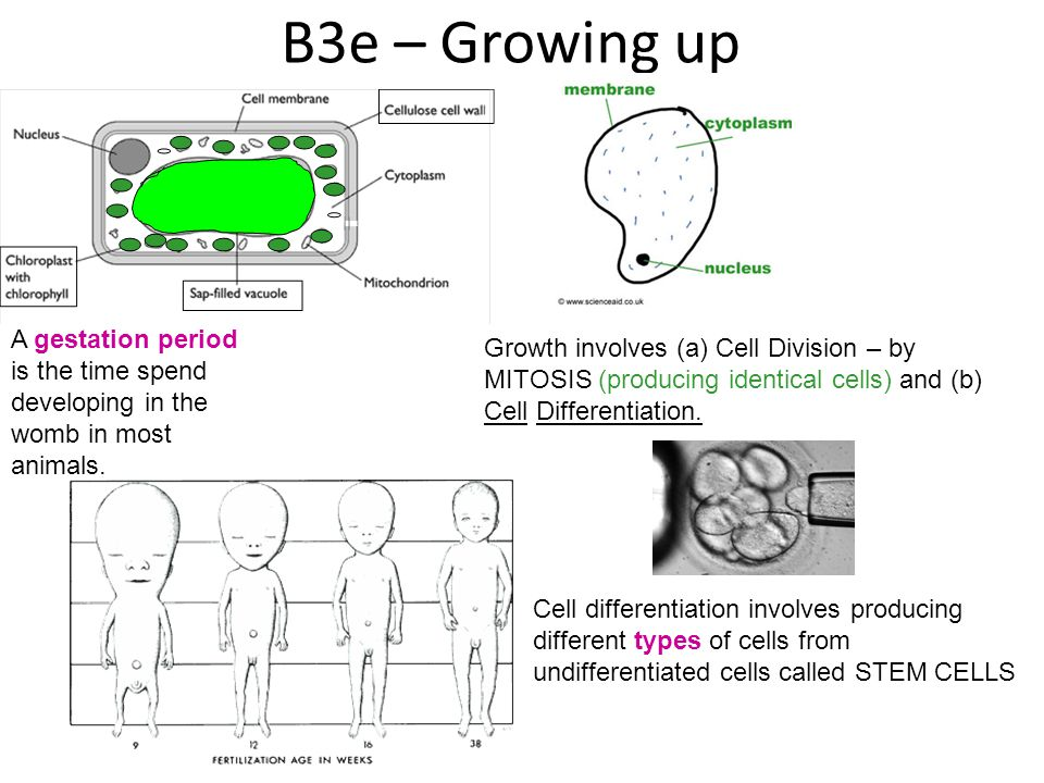 B3e – Growing up Growth involves (a) Cell Division – by MITOSIS (producing identical cells) and (b) Cell Differentiation.