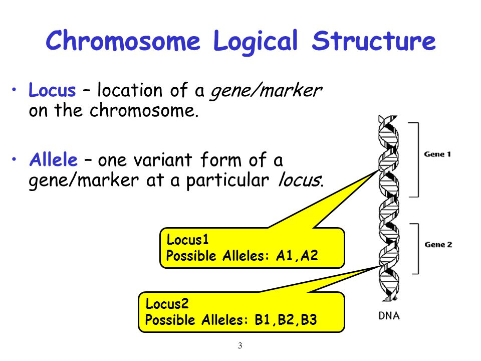 3 Chromosome Logical Structure Locus – location of a gene/marker on the chromosome. Allele – one variant form of a gene/marker at a particular locus.