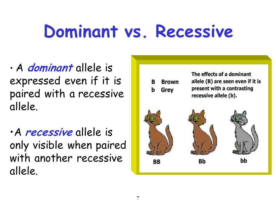 7 Dominant vs. Recessive A dominant allele is expressed even if it is paired with a recessive allele. A recessive allele is only visible when paired w