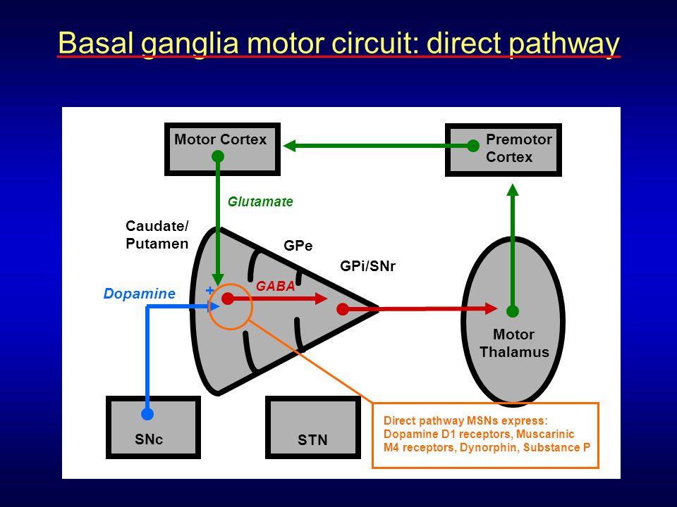 Caudate/ Putamen Motor Cortex Motor Thalamus Premotor Cortex Glutamate GABA GPe GPi/SNr STN Dopamine SNc + Direct pathway MSNs express: Dopamine D1 re
