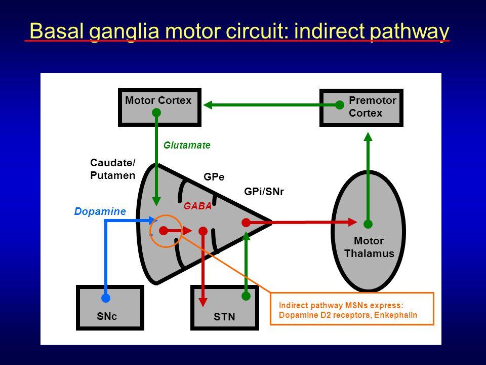 Caudate/ Putamen Motor Cortex Motor Thalamus Premotor Cortex Glutamate GABA GPe GPi/SNr STN Dopamine SNc - Indirect pathway MSNs express: Dopamine D2