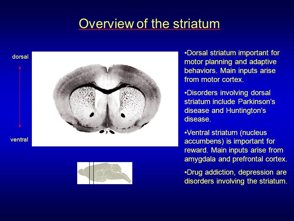 Caudate/ Putamen Motor Cortex Motor Thalamus Premotor Cortex Glutamate GABA GPe GPi/SNr STN Dopamine SNc + Direct pathway MSNs express: Dopamine D1 receptors, Muscarinic M4 receptors, Dynorphin, Substance P Basal ganglia motor circuit: direct pathway