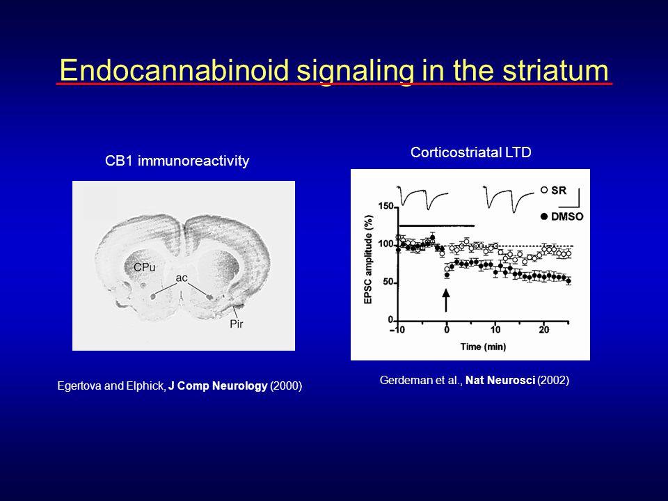 Egertova and Elphick, J Comp Neurology (2000) CB1 immunoreactivity Gerdeman et al., Nat Neurosci (2002) Corticostriatal LTD Endocannabinoid signaling