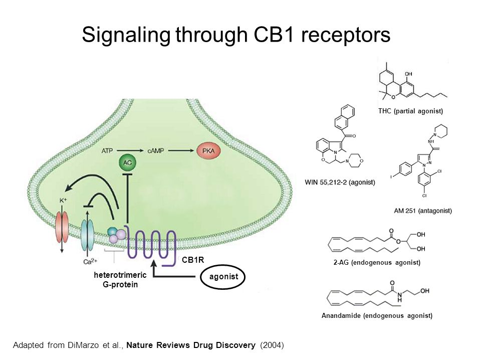 Signaling through CB1 receptors Adapted from DiMarzo et al., Nature Reviews Drug Discovery (2004) heterotrimeric G-protein CB1R agonist Anandamide (en