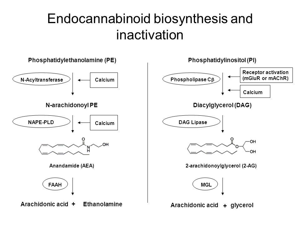 Endocannabinoid biosynthesis and inactivation Calcium Phosphatidylethanolamine (PE) N-arachidonoyl PE N-Acyltransferase FAAH Arachidonic acidEthanolam