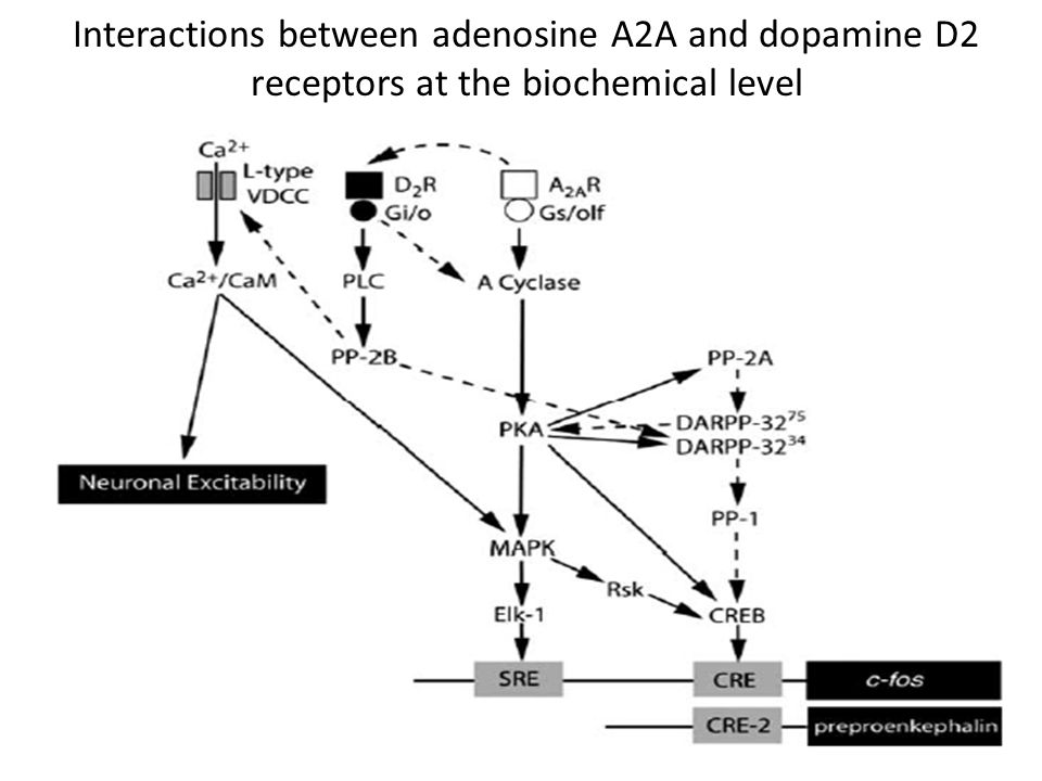 Interactions between adenosine A2A and dopamine D2 receptors at the biochemical level