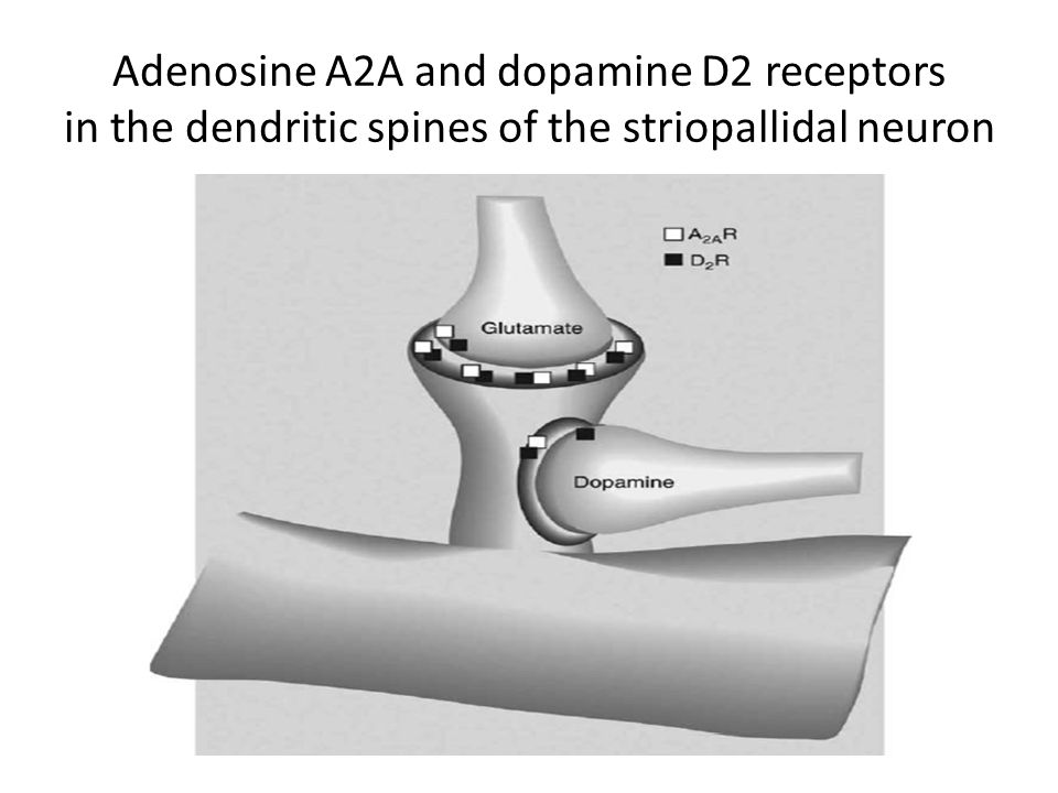 In addition to dopamine and glutamate, the neuromodulator adenosine plays an important role in the function of striatal GABAergic efferent neurons