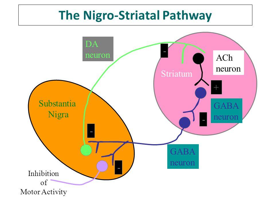 The Nigro-Striatal Pathway Inhibition of Motor Activity DA neuron ACh neuron GABA neuron GABA neuron Substantia Nigra + - - - - Striatum