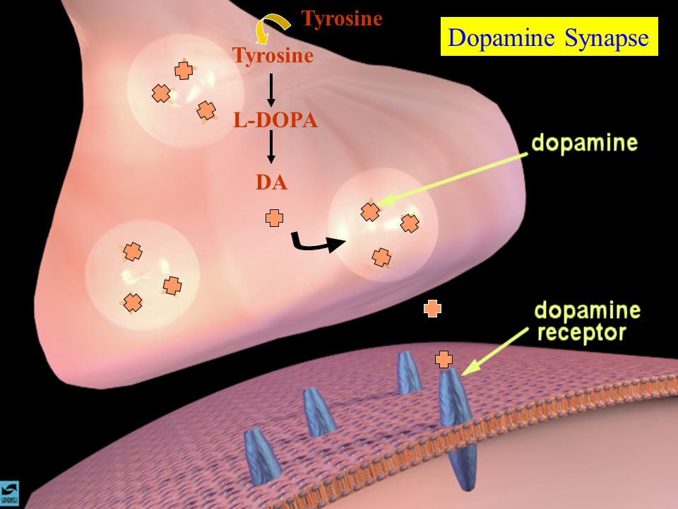 Dopamine Synapse DA L-DOPA Tyrosine