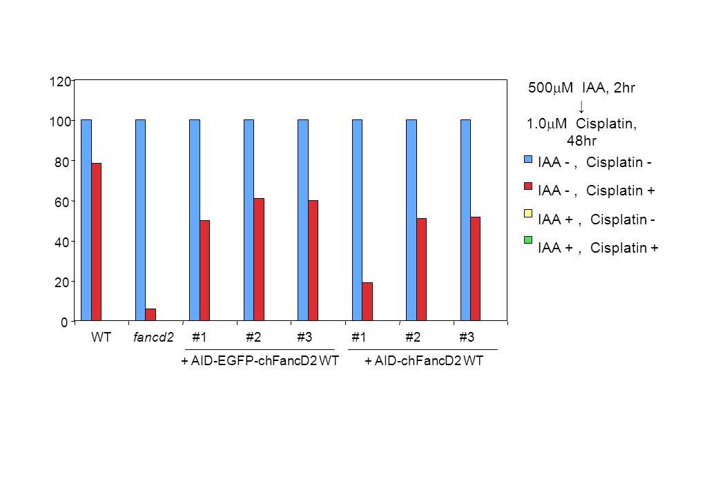 IAA -, Cisplatin - IAA +, Cisplatin - IAA -, Cisplatin + IAA +, Cisplatin + 500  M IAA, 2hr ↓ 1.0  M Cisplatin, 48hr + AID-EGFP-chFancD2 WT + AID-chFancD2 WT 0 20 40 60 80 100 120 WTfancd2#1#2#3#1#2#3