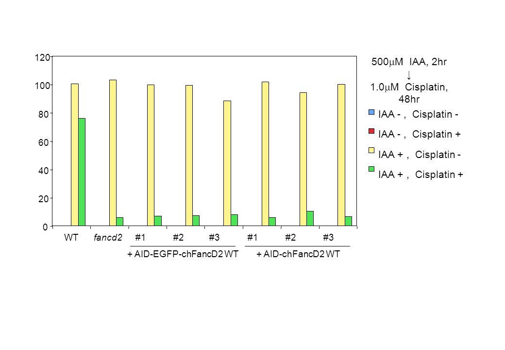 IAA -, Cisplatin - IAA +, Cisplatin - IAA -, Cisplatin + IAA +, Cisplatin + 500  M IAA, 2hr ↓ 1.0  M Cisplatin, 48hr + AID-EGFP-chFancD2 WT + AID-ch
