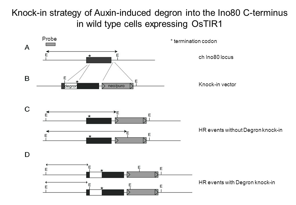 Knock-in strategy of Auxin-induced degron into the Ino80 C-terminus in wild type cells expressing OsTIR1 ch Ino80 locus Knock-in vector * termination codon Probe HR events without Degron knock-in HR events with Degron knock-in