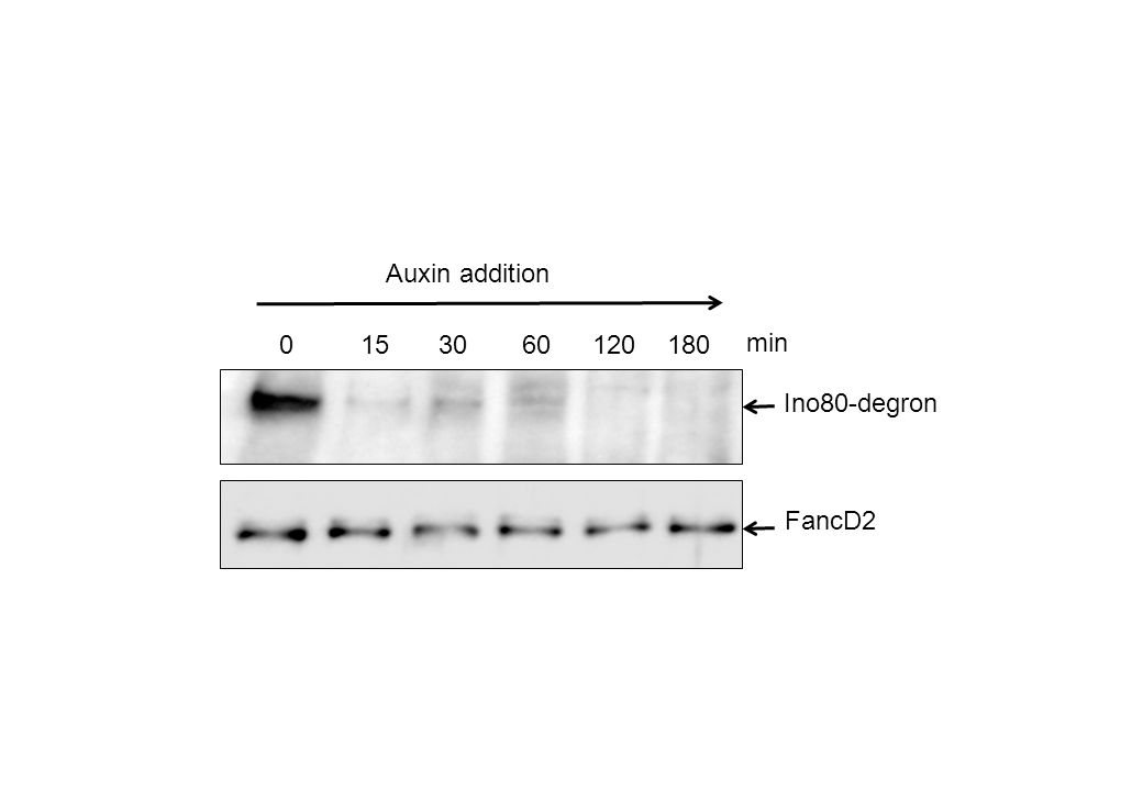 0153060120180 Ino80-degron FancD2 min Auxin addition