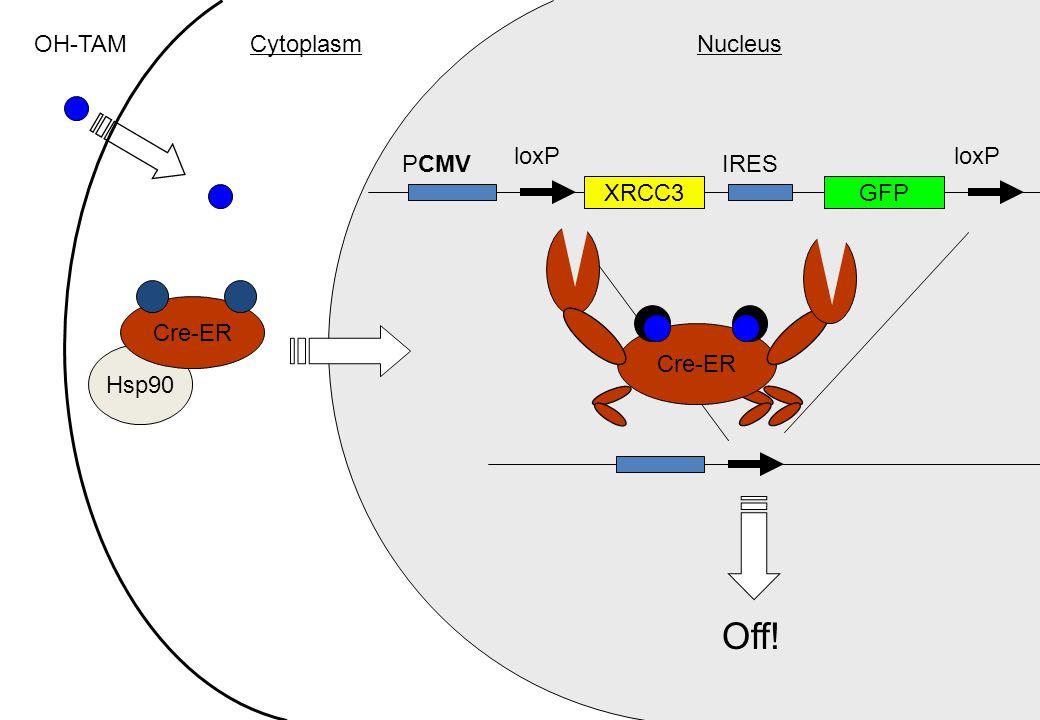 Hsp90 Cre-ER OH-TAM GFP IRES loxP Cre-ER loxP PCMV Off! CytoplasmNucleus XRCC3