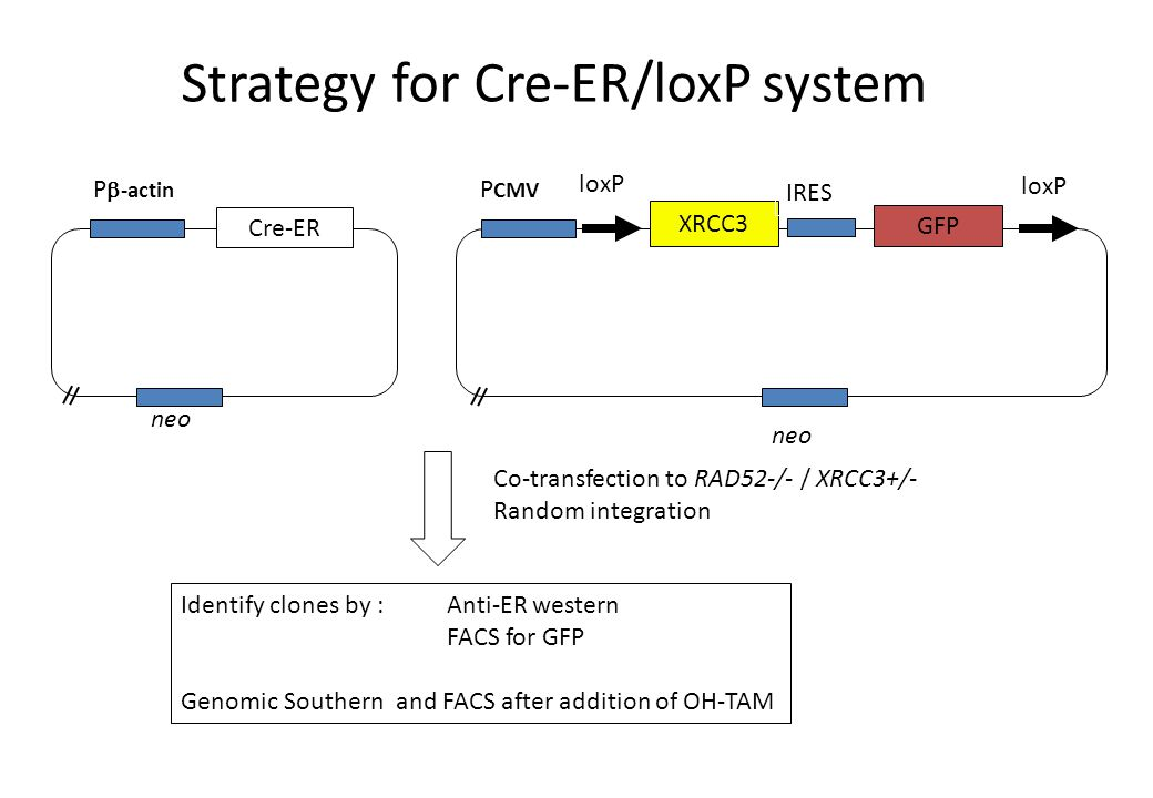 Cre-ER P  -actin neo XRCC3 GFP IRES loxP P CMV neo Co-transfection to RAD52-/- / XRCC3+/- Random integration Identify clones by :Anti-ER western FACS for GFP Genomic Southern and FACS after addition of OH-TAM Strategy for Cre-ER/loxP system