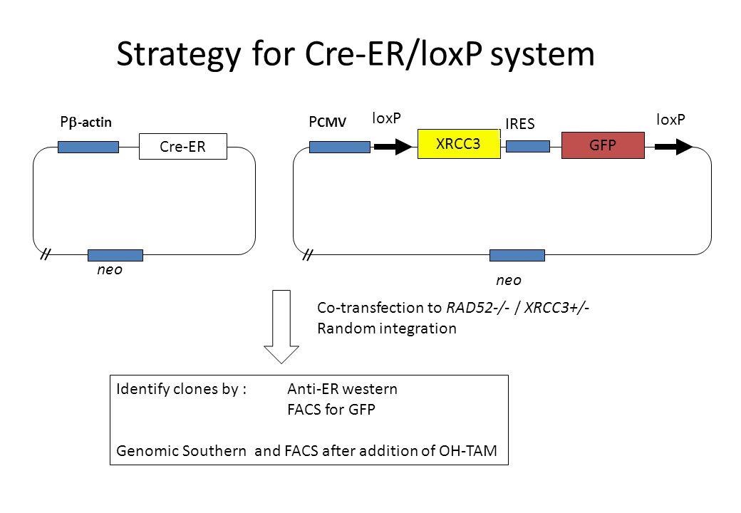 Cre-ER P  -actin neo XRCC3 GFP IRES loxP P CMV neo Co-transfection to RAD52-/- / XRCC3+/- Random integration Identify clones by :Anti-ER western FACS