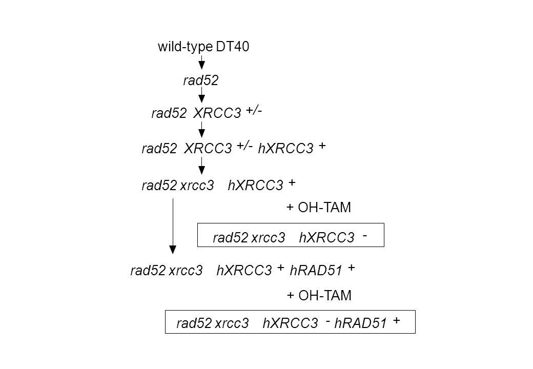 rad52 XRCC3 +/- rad52XRCC3 +/- hXRCC3 + rad52 xrcc3 hXRCC3 + hRAD51 + wild-type DT40 rad52 xrcc3 hXRCC3 - rad52 xrcc3 hXRCC3 - hRAD51 + + OH-TAM rad52 xrcc3 hXRCC3 +