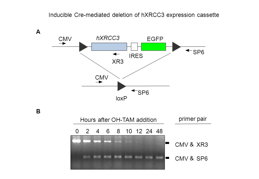 IRES hXRCC3 EGFPCMV XR3 SP6 CMV A B 0 & XR3 CMV & SP6 246101224488 Hours after OH-TAM addition primerpair loxP Inducible Cre-mediated deletion of hXRC