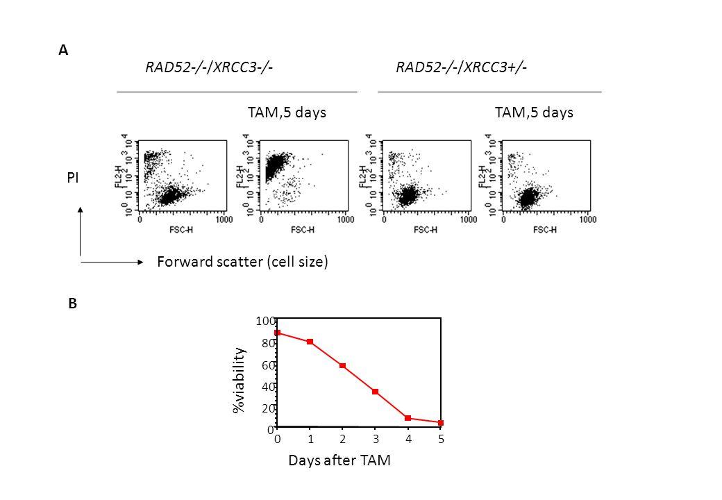 TAM,5 days RAD52-/-/XRCC3-/-RAD52-/-/XRCC3+/- Forward scatter (cell size) PI 012345 0 20 40 60 80 100 %viability Days after TAM A B