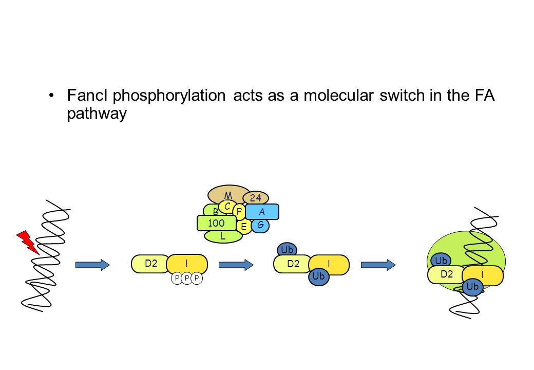 FancI phosphorylation acts as a molecular switch in the FA pathway Ub D2 I Ub D2 I Ub D2 I Ub PPP M B 24 C E F G L A 100