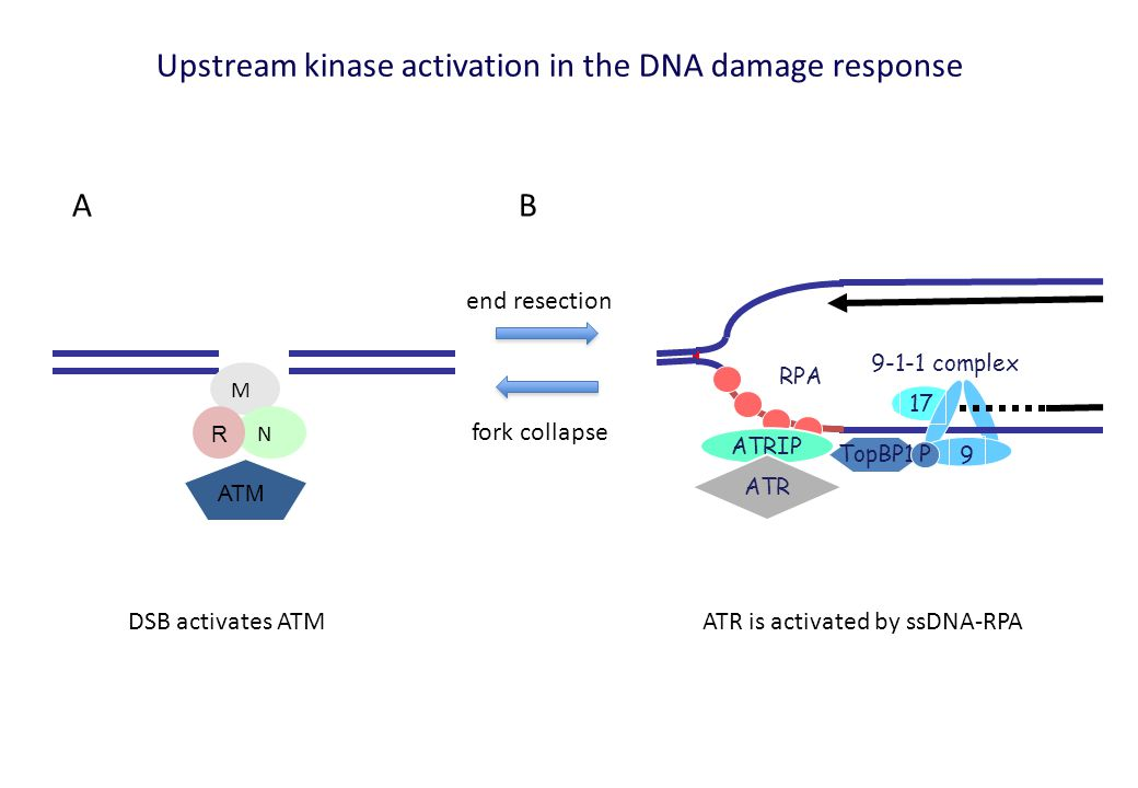 ATRIP RPA ATR 9-1-1 complex 17 9 TopBP1 P M N R ATM AB DSB activates ATMATR is activated by ssDNA-RPA Upstream kinase activation in the DNA damage response end resection fork collapse