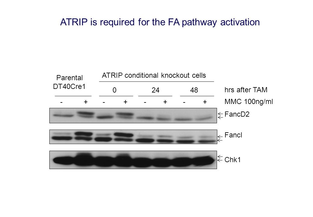 FancI FancD2 Parental DT40Cre1 ATRIP conditional knockout cells Chk1 +-+-+-+- 48240 hrs after TAM MMC 100ng/ml ATRIP is required for the FA pathway ac
