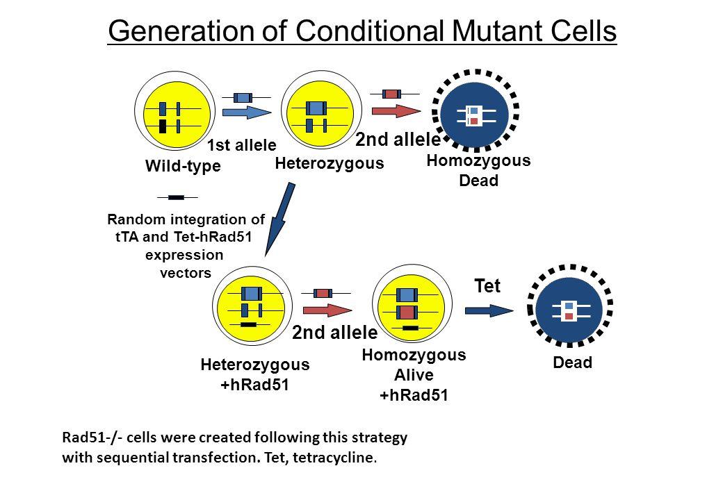 Generation of Conditional Mutant Cells Wild-type Heterozygous Homozygous Dead Homozygous Alive +hRad51 1st allele 2nd allele Dead Random integration o