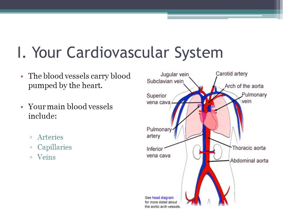 I. Your Cardiovascular System The blood vessels carry blood pumped by the heart. Your main blood vessels include: ▫Arteries ▫Capillaries ▫Veins