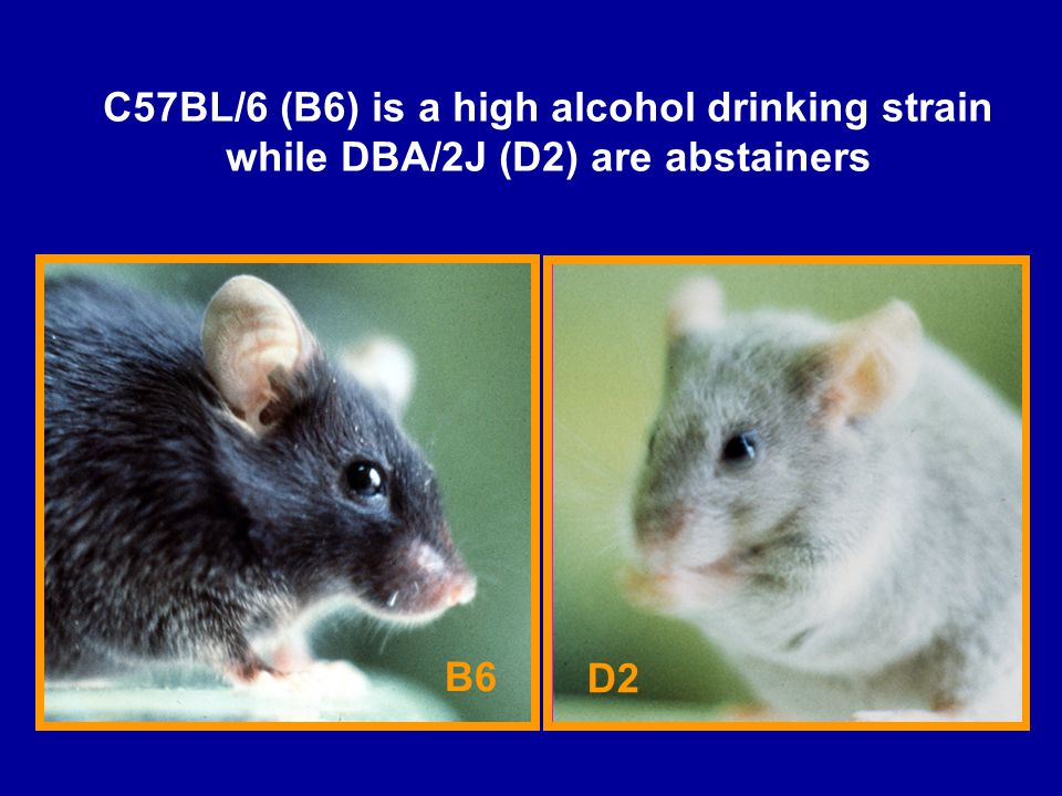 C57BL/6 (B6) is a high alcohol drinking strain while DBA/2J (D2) are abstainers B6 D2