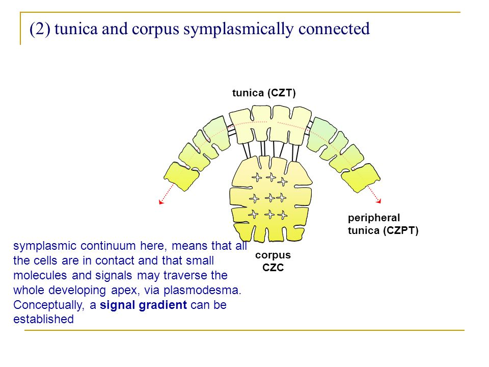 (2) tunica and corpus symplasmically connected tunica (CZT) corpus CZC peripheral tunica (CZPT) symplasmic continuum here, means that all the cells are in contact and that small molecules and signals may traverse the whole developing apex, via plasmodesma.