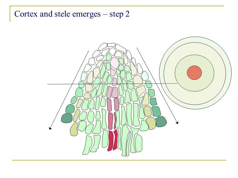 Cortex and stele emerges – step 2