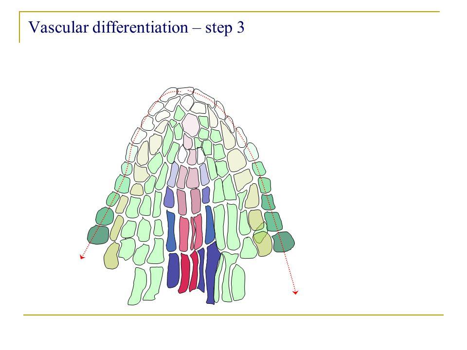 Vascular differentiation – step 3